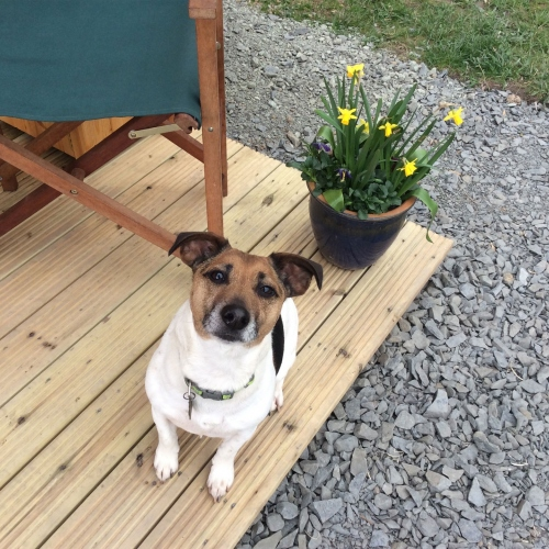 The resident dog at luxury glamping site in Ellesmere, Shropshire